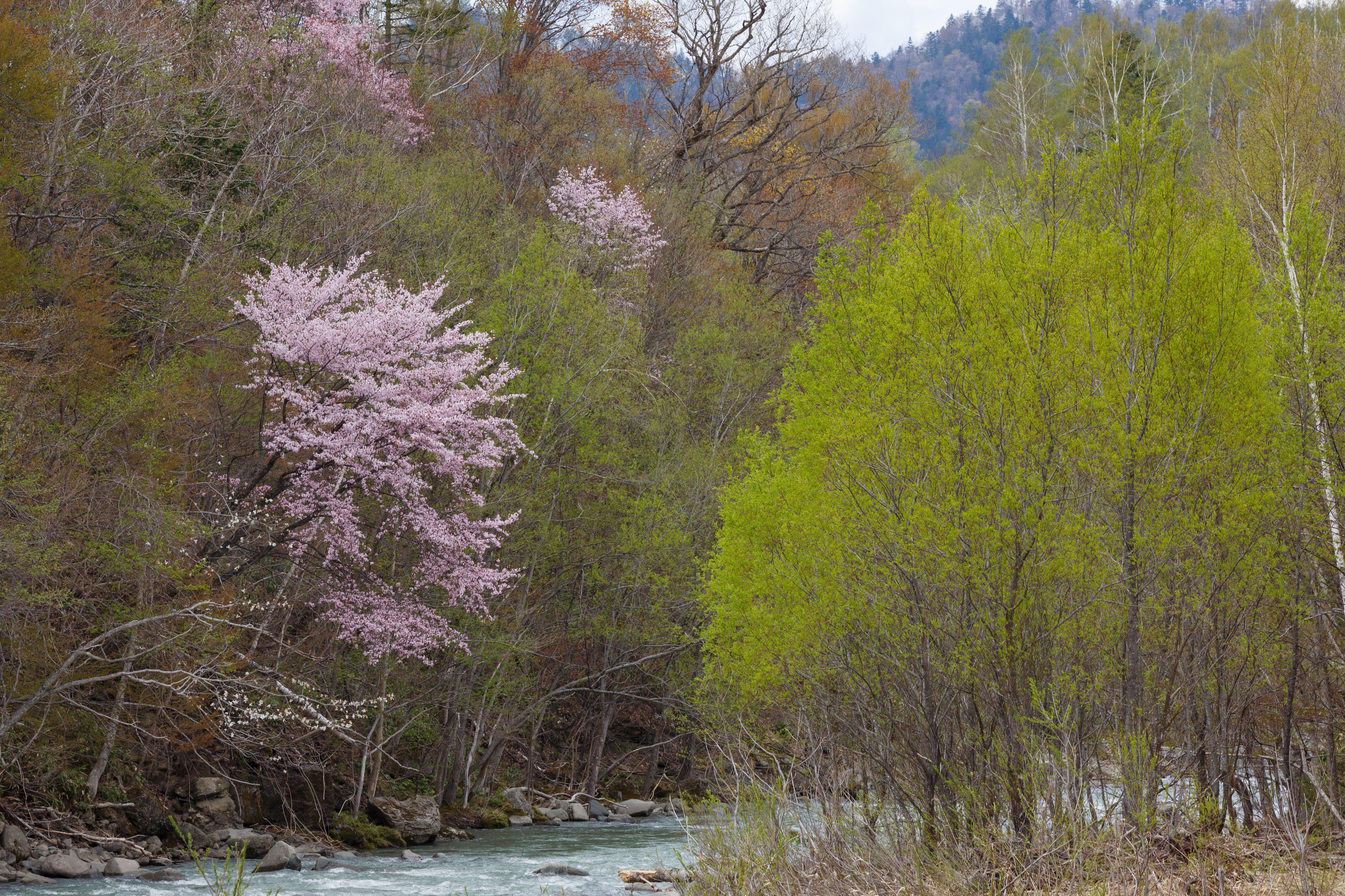 芦別川の桜