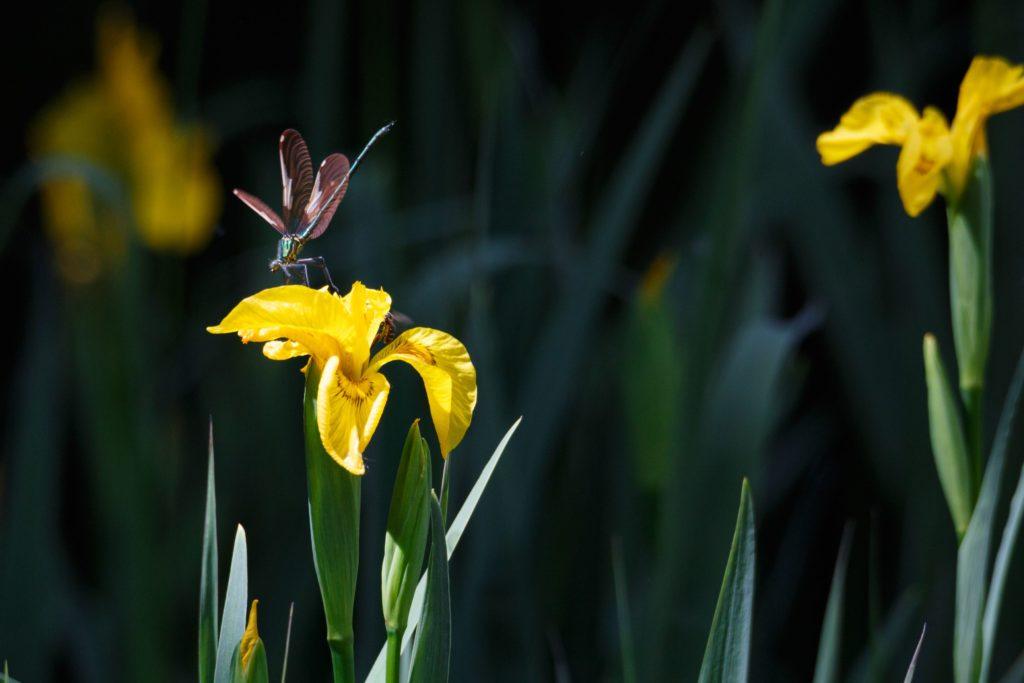 春のトンボ
