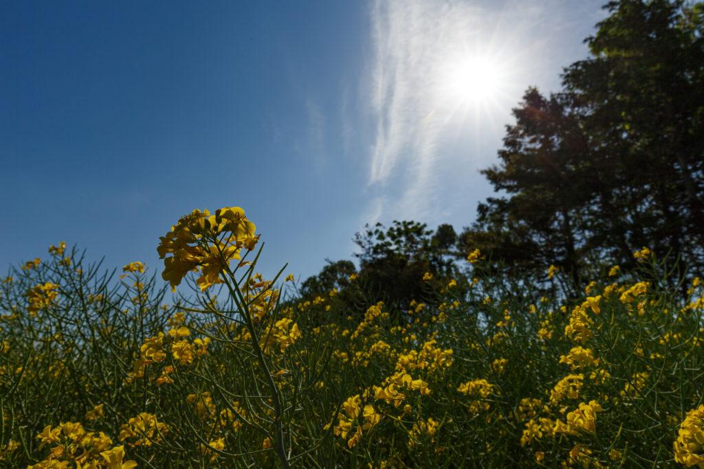 菜の花と太陽