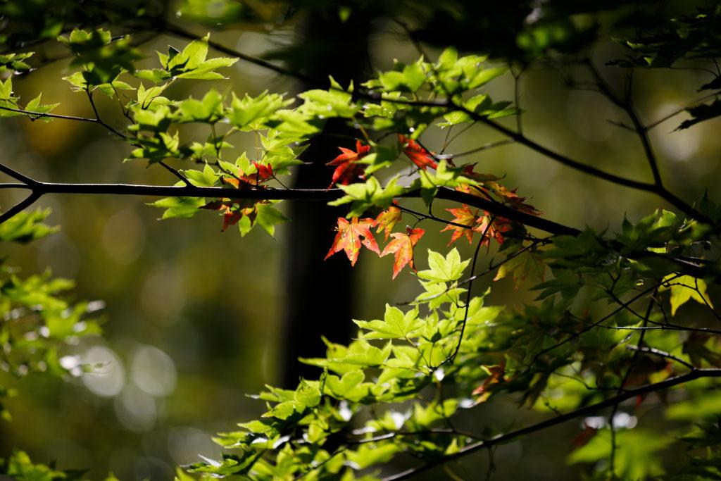 数枚の紅葉