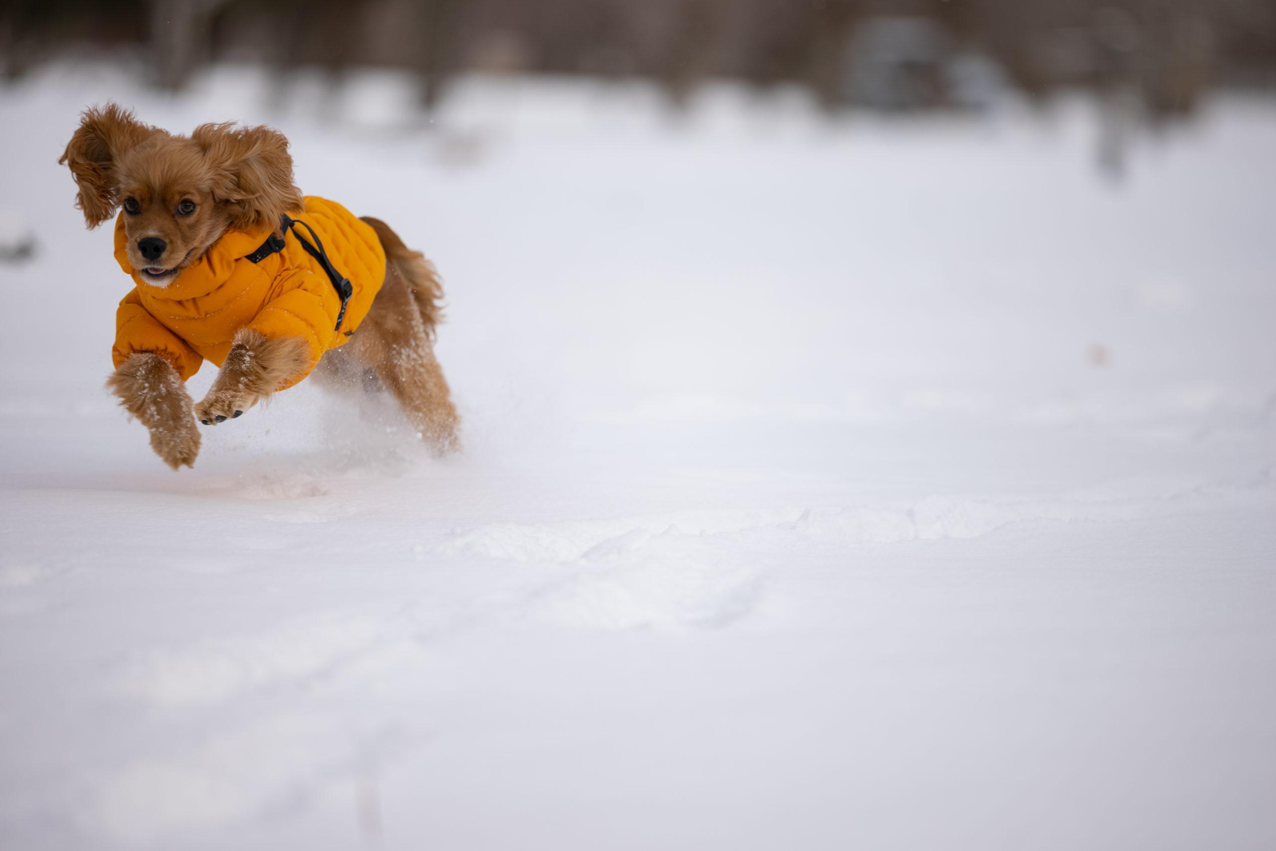 雪原を走る犬
