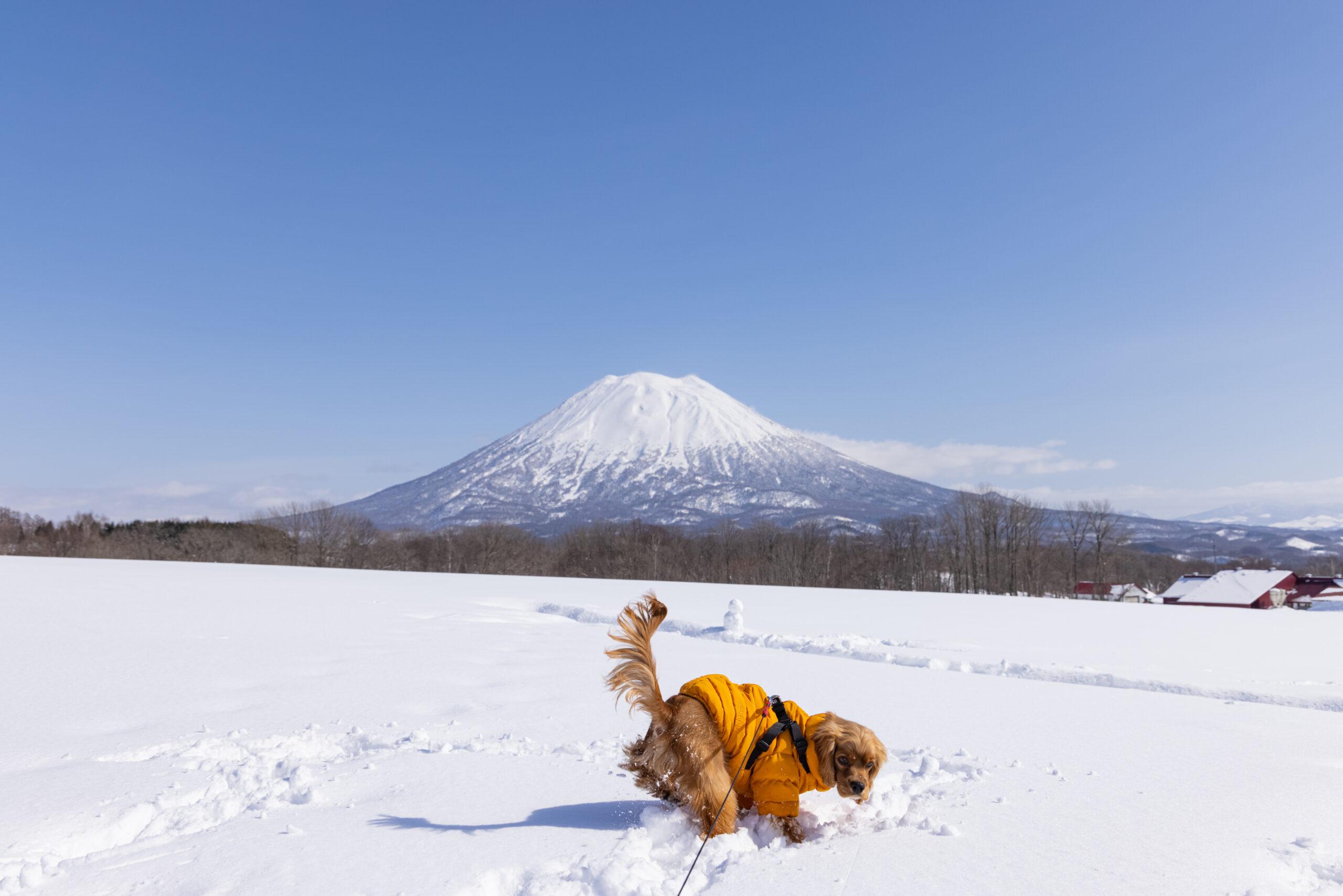 羊蹄山と犬
