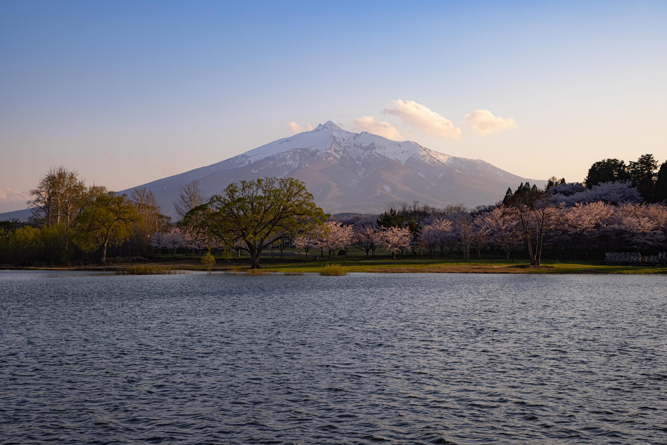 鶴の舞橋の桜