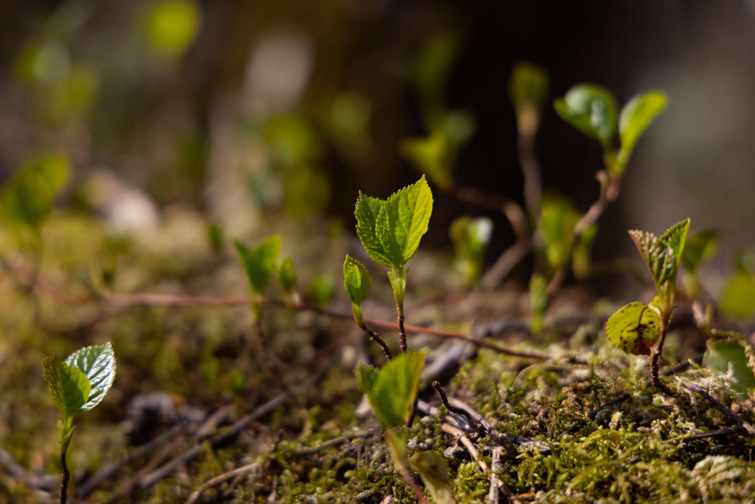 奥入瀬渓流の植物