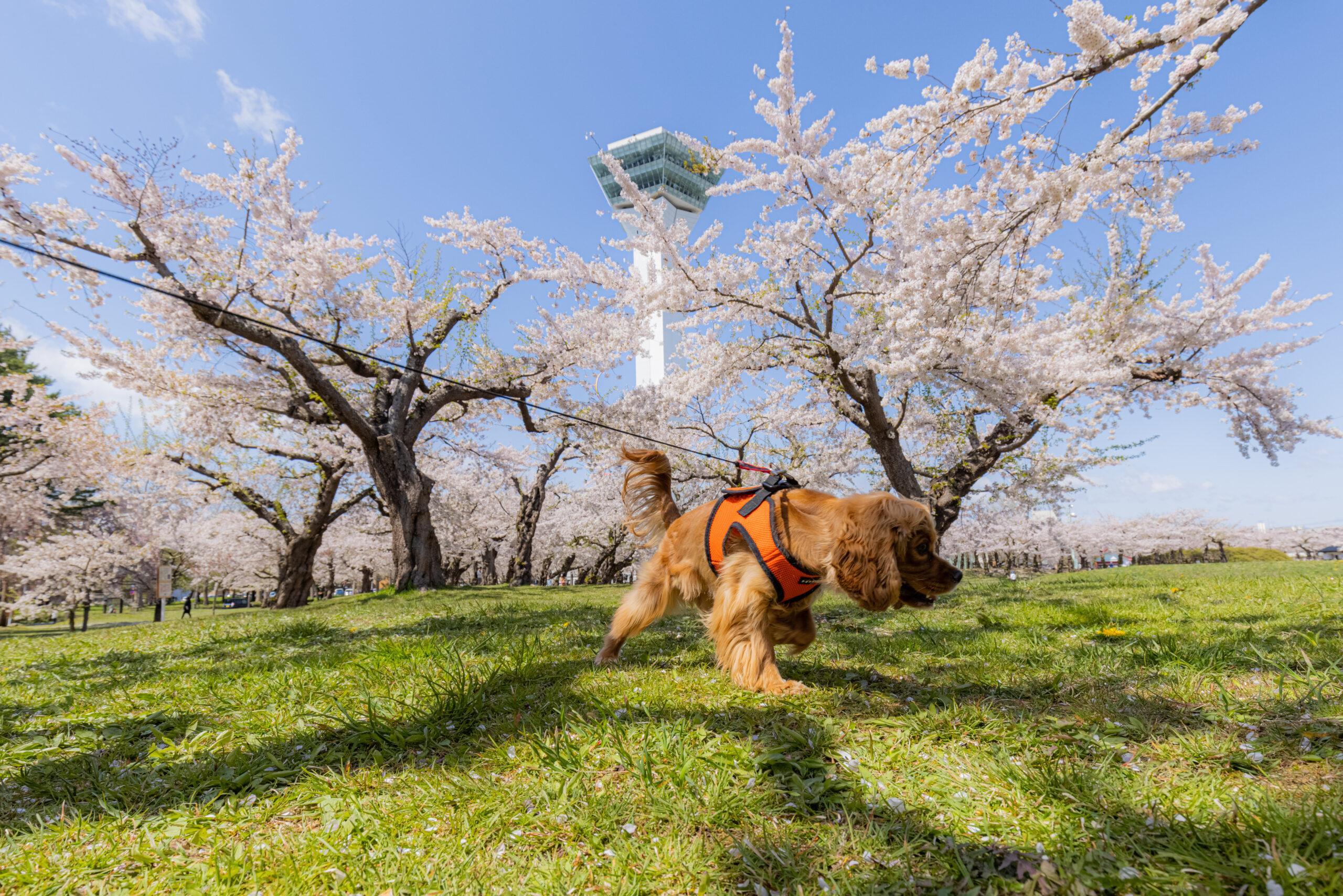 五稜郭の桜と犬